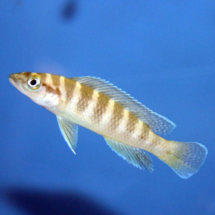 Gambar 9 Jenis Ikan Cichlid Afrika Dari Danau Tanganyika-Cylinder Cichlid ( Neolamprologus cylindricus )
