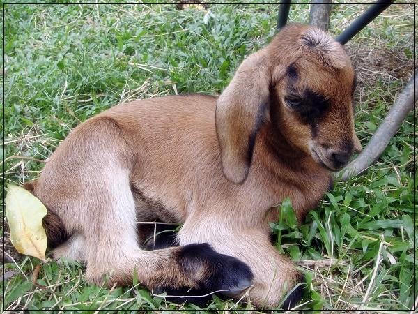 Mommy nak bela anak kambing?