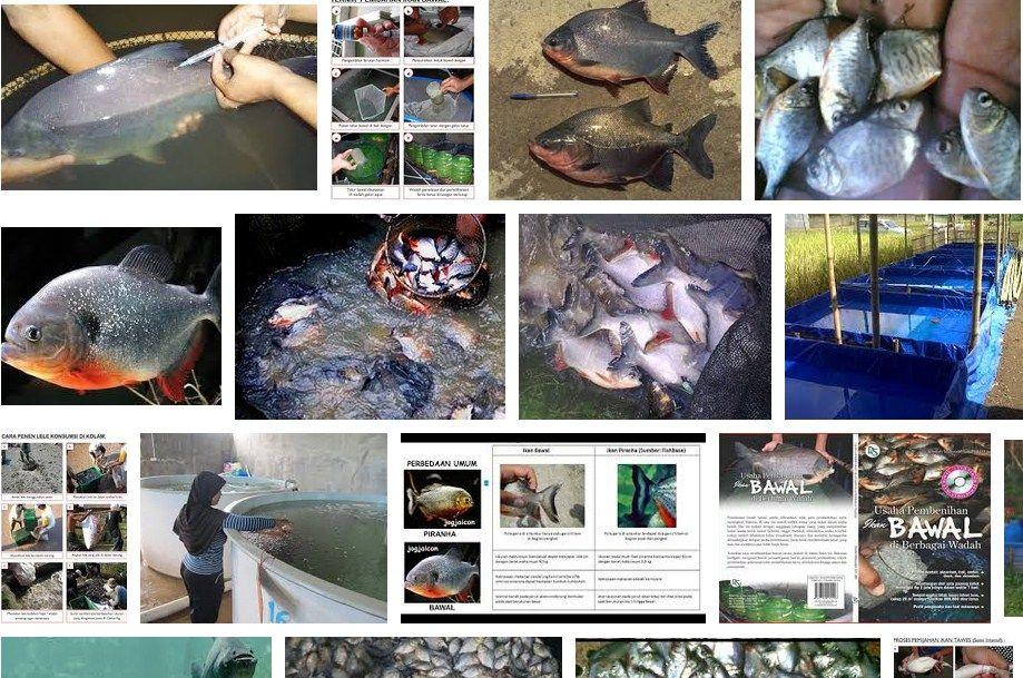 proses pendederan ikan bawal