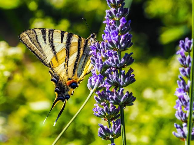 Koningspage op lavendel