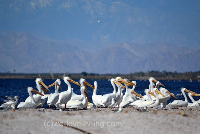 The white pelicans are gathered together at the waters edge