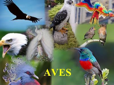 Filo cordados: Aves