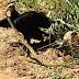 Predação de serpente venenosa por urubus é realizada por pesquisadores