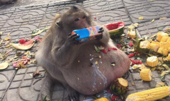 (Gambar & Video) Perut Monyet Besar Melabuh Gara-Gara Makan Terlalu Banyak