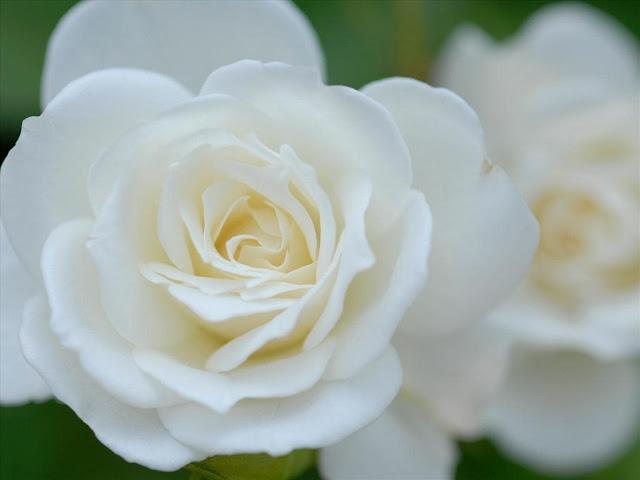 bó hoa hồng trắng đẹp nhất 2017 5