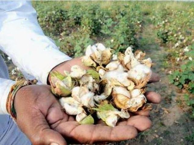 இந்தியாவில் புதிய மரபணு பருத்தி விதை அறிமுகத்தை கைவிட்டது மான்சான்ட்டோ