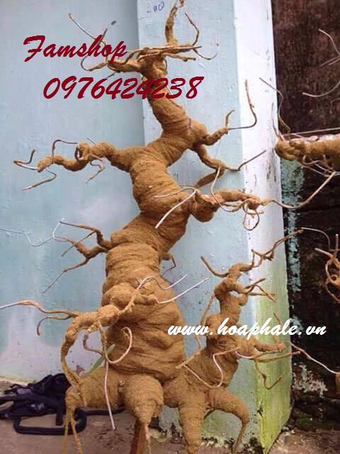 Goc bonsai mai dao tai Hoa Lu