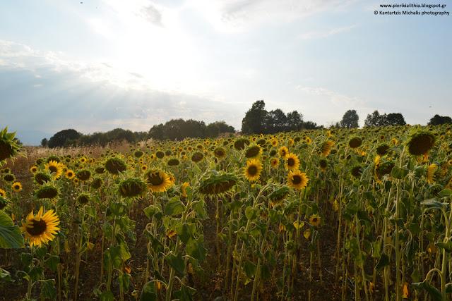 """Ηλίανθος. Το λουλούδι του ήλιου, με τον φακό της """"ΑΛΗΘΕΙΑΣ"""". (ΦΩΤΟΓΡΑΦΙΕΣ)"""