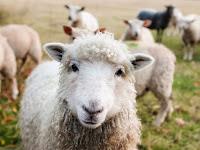 bisnis ternak mudah, bisnis ternak laris, bisnis ternak menguntungkan, usaha ternak, ternak