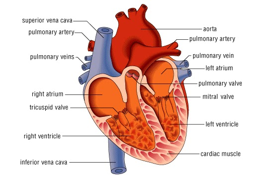 Anatomi dan Struktur Jantung Manusia