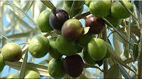 gambar buah zaitun, bahasa arab zaitun