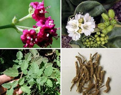 Health Benefits of Satodi Herb