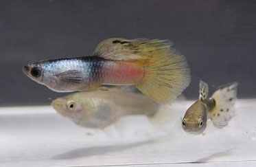 Swordtail Guppies A Discussion Of The Pink Moscow Panda Phenotype Creation Modification And When Needed Reconstruction