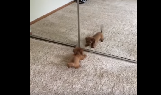 Here is a video that is delight to watch.  A two-month-old dachshund puppy named Cheddar is alarmed at his own reflection and can't stop barking at it.  The puppy walks into a room and sees itself reflecting on a floor-to-ceilng mirror. Taking instant offence it charges, retreats and pushes forward again, barking all the while.