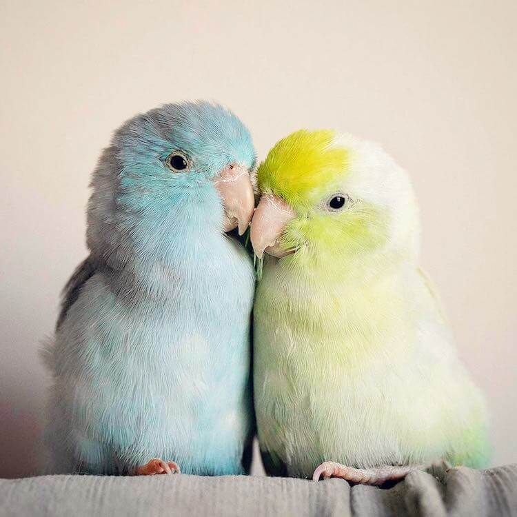 Adorable Images Depict The Relationship Between Four Pastel-Colored Parrotlet Birds