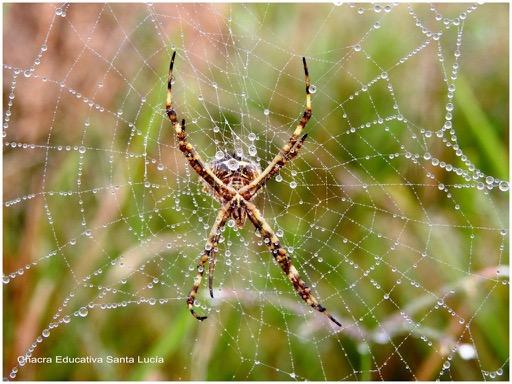 Araña en su tela adornada por gotas de rocío - Chacra Educativa Santa Lucía