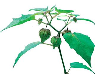 Khasiat tanaman Ciplukan