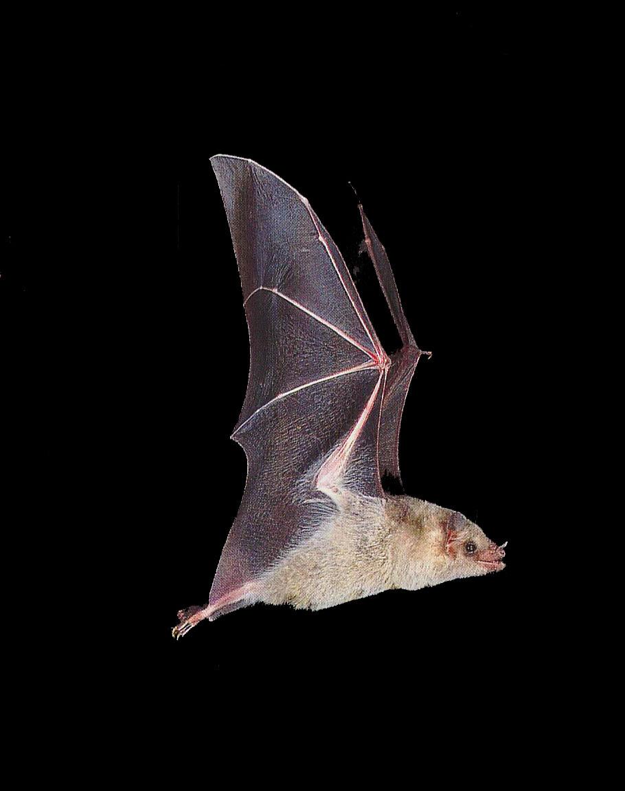 Evolutiebiologie Haar En Vliegende Vleermuizen