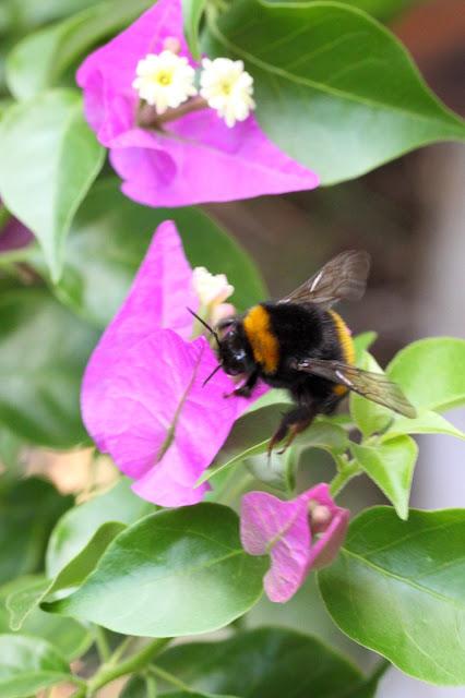 Bumblebee III