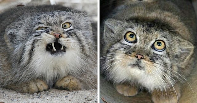 The Manul Cat Is The Most Expressive Cat In The World