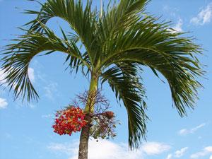Pohon palem putri tanaman peneduh