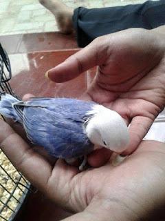 Harga Lovebird Violet Kepala Elang