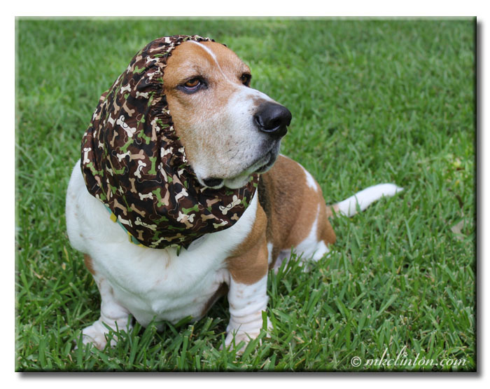 Basset hound wearing camoflage snood