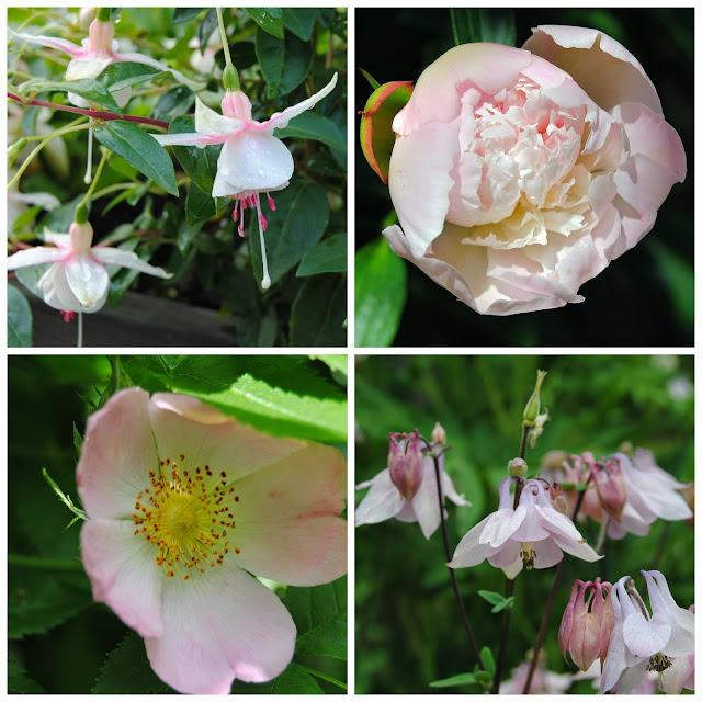 Fuchsia 'Charlotte Clyne', doftpion, nyponros och akleja