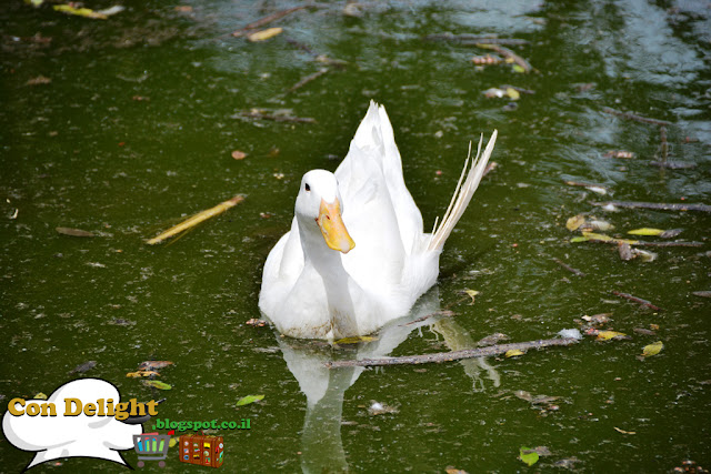 ברבור swan