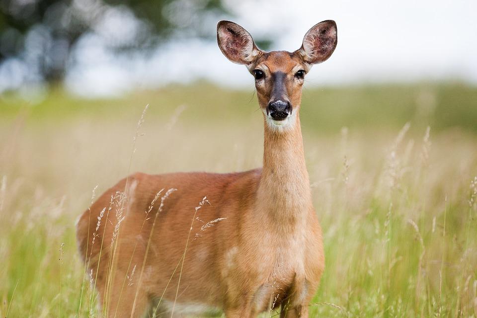 deer from your garden