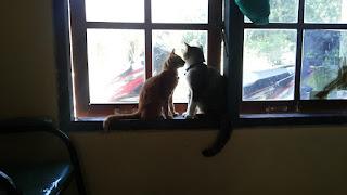 kucing kawin
