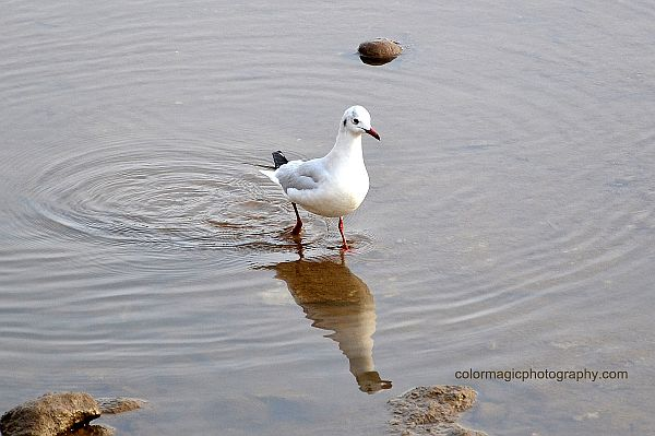 Black Headed Gull-adult in winter plumage