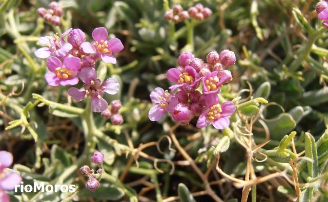 Rascaculos Ptilotrichum spinosum