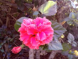 Hibiscus drink,pink Hibiscus tree