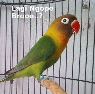 lovebird nafas panjang