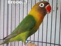 Cara Agar Lovebird Memiliki Nafas Panjang Saat Lomba