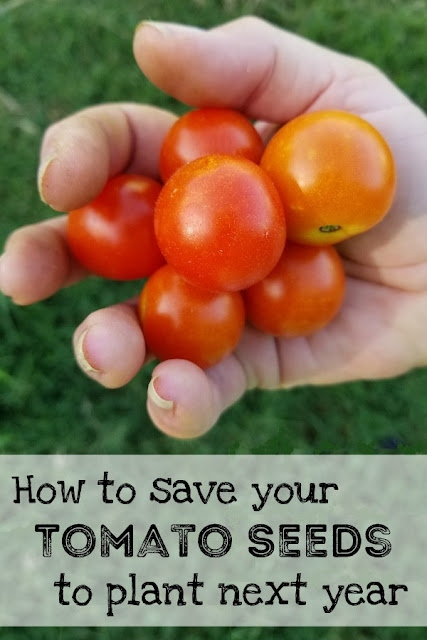 By saving seeds from your garden and planting them again, after several years those seeds have adapted to your own climate and soil. They are the perfect seeds for your garden!