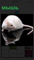 Белая мышь с длинным хвостом отражается сидя на поверхности стола