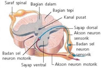 Sumsum Tulang Belakang atau medulla spinalis - berbagaireviews.com