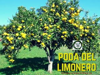 Te explicamos como se poda un árbol limonero joven, en maceta, etc