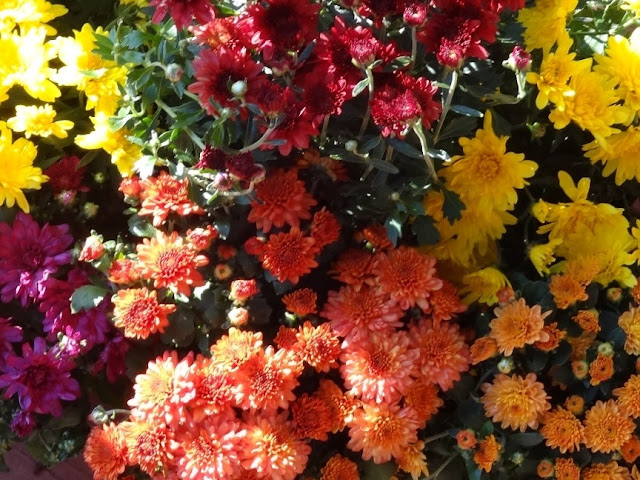 Mums for potting for my porch and deck