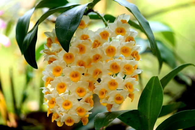 Grow And Care Dendrobium Thyrsiflorum Orchid Pinecone Like Raceme