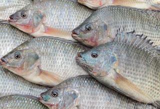 كيفية صيد سمك البلطي بالصنارة