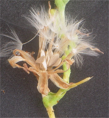 A close up of lettuce seeds emerging from the lettuce seed head