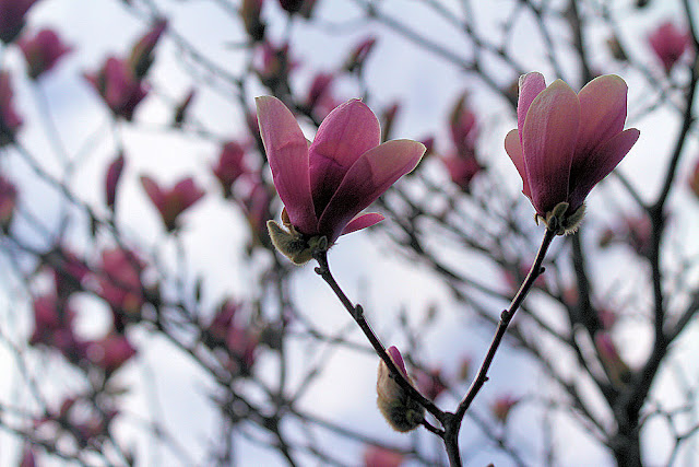 Pink Magnolia Tree Photo
