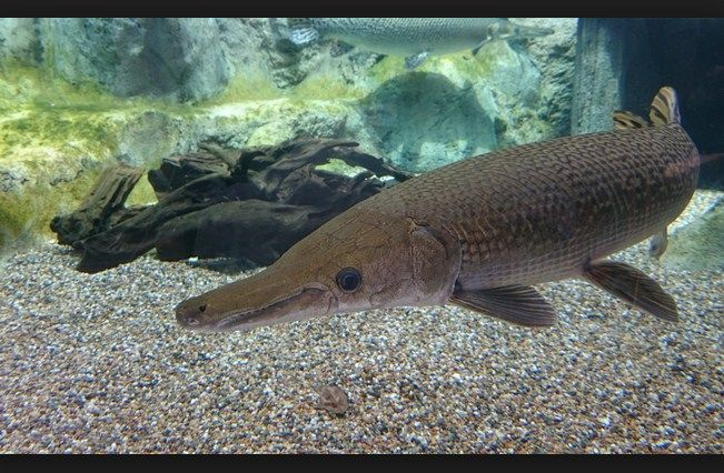 jenis ikan aligator