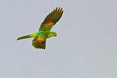 Jonquil parrot
