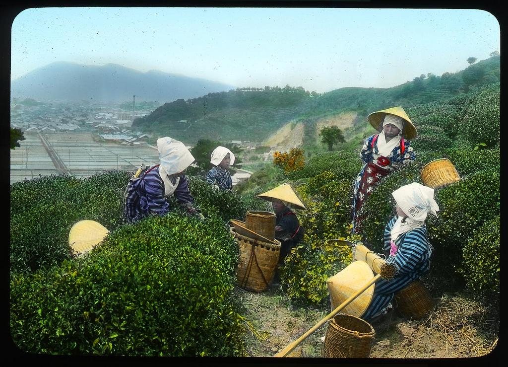 Chùm ảnh xưa về trà Nhật Bản 3