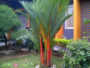 tanaman hias palem merah paling indah