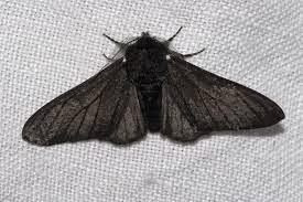 Biston betularia morpha carbonaria